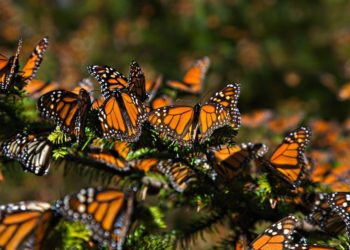 Feb. 6, 2008 - Ocampo, Michoacan, MEXICO - Monarch Butterflies mass at the Monarch Butterfly Biosphere Reserve in El Rosario central Mexican in Michoacan State. Each year hundreds of millions Monarch butterflies mass migrate from the U.S. and Canada to Oyamel fir forests in the volcanic highlands of central Mexico. North American monarchs are the only butterflies that make such a massive journeyÃ'up to 3,000 miles  (Credit Image: © Richard Ellis/ZUMAPRESS.com)